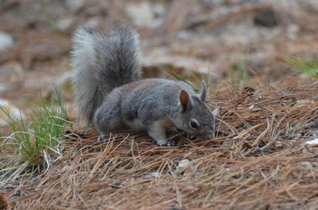 One of the Abert's squirrels we saw at the campsite