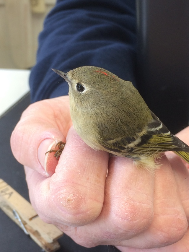 A ruby-crowned kinglet, one of many banded today.