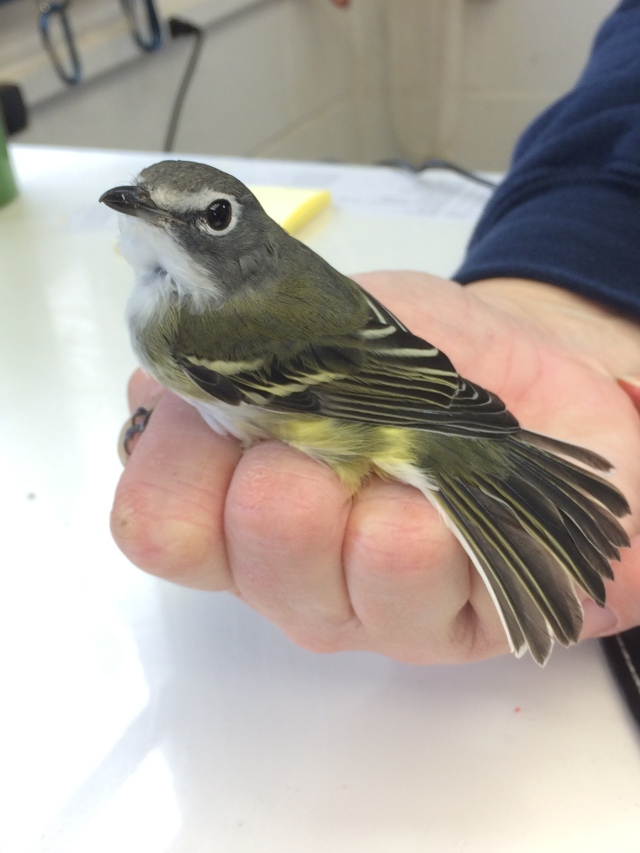 A blue-headed vireo.
