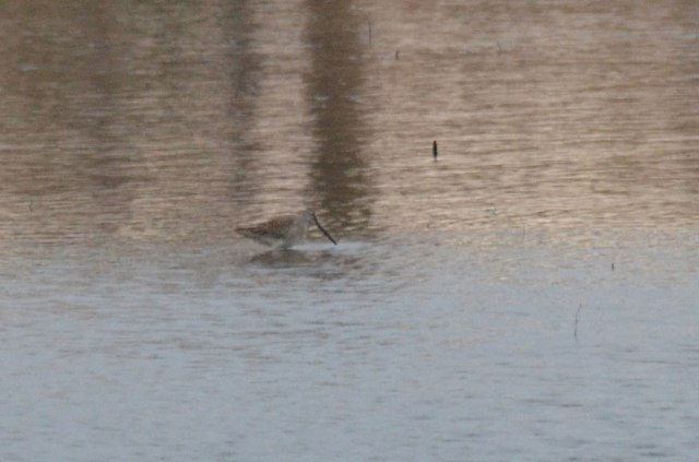 A heavily cropped shot of the long-billed dowitcher.