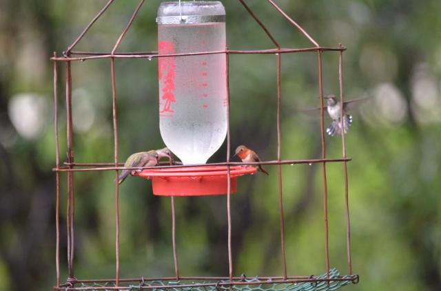 An Assortment of Hummingbirds