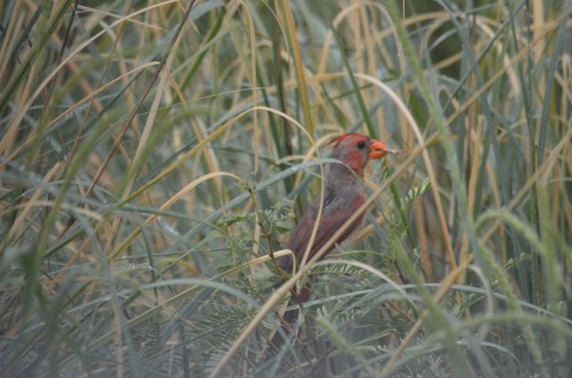 Pyrrhuloxia x Northern Cardinal Hybrid