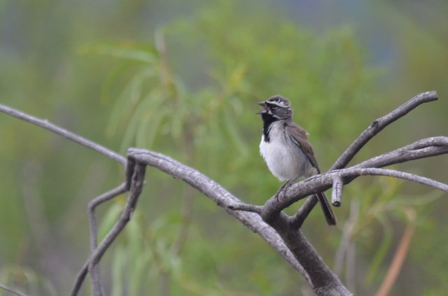 Black-throated Sparrow near Portal