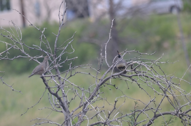Gambel's Quail on the Way out of Miller Canyon