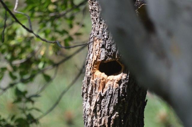 Trogon Nest Hole