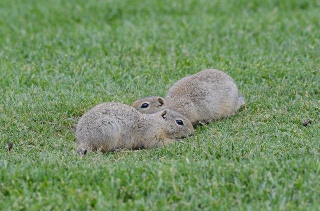 Wyoming Ground Squirrels